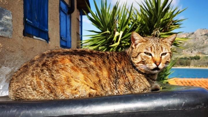 Ερευνα: Οι γάτες μπορούν να κολλήσουν κορονοϊό
